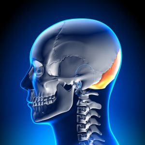 human skull from the side with the occipital bone highlighted