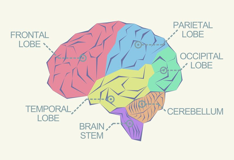 graphics showing parts of the brain